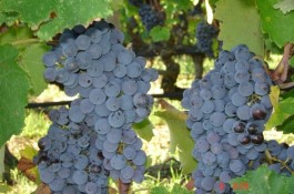 Avgoustiatis Red Grape Variety of Zakynthos Greece
